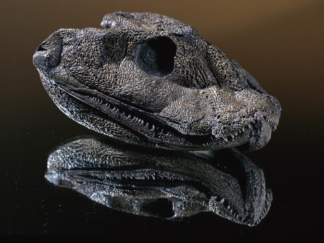 Fossil Skull of Ancient Amphibian Photographic Print