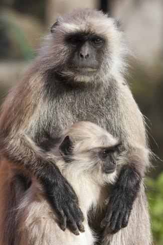 Gray Langur (Simia Entellus) Monkey, or Hanuman Langurs Photographic Print