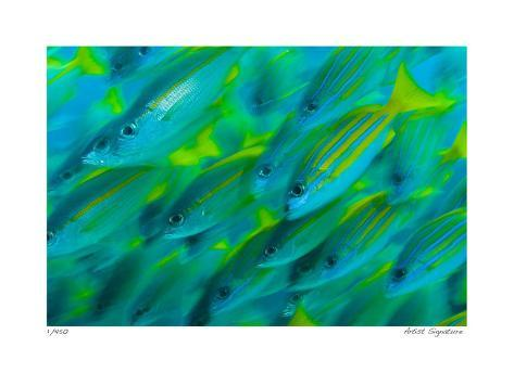 Schooling Snappers Giclee Print
