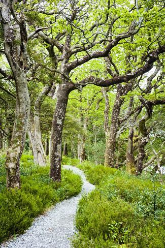 Oak Trees in Killarney National Park Photographic Print