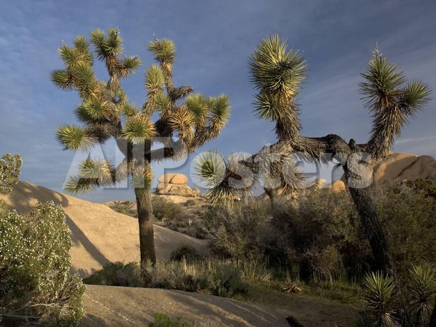 Joshua Tree In The Mojave Desert Amongst Granite Rocks