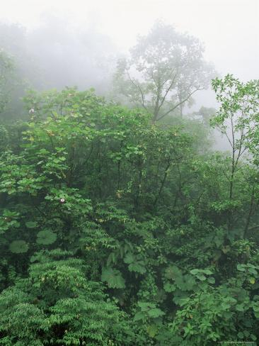Tropical Rainforest Canopy in Mist, Braulio Carrillo National Park, Costa Rica Photographic Print