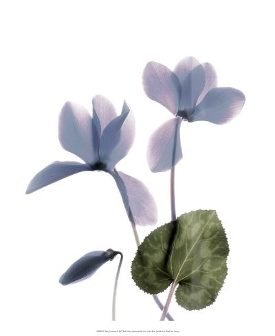 Xray Cyclamen Taidevedos
