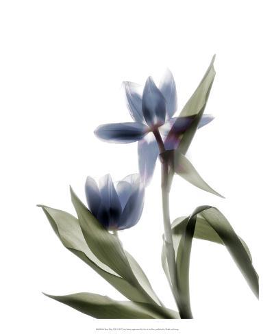 Xray Tulip VIII Taidevedos