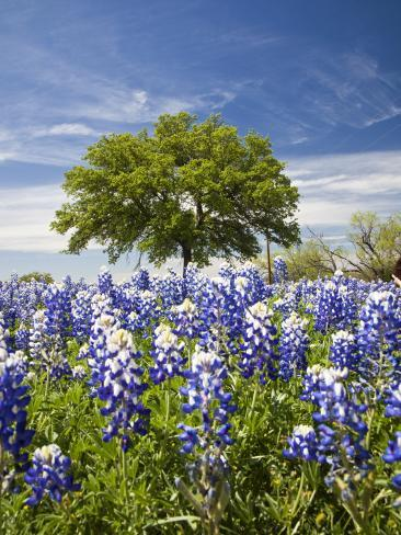 Texas Bluebonnets and Oak Tree, Texas, USA Photographic Print