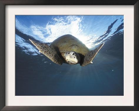 Green Turtle Swimming, Sulu-Sulawesi Seas, Indo Pacific Ocean Framed Art Print