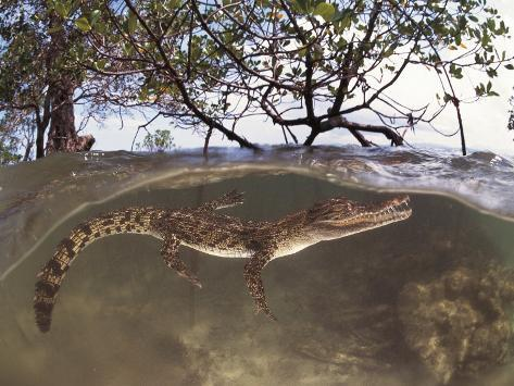 Juvenile Saltwater Crocodile, Amongst Mangroves, Sulawesi, Indonesia Photographic Print