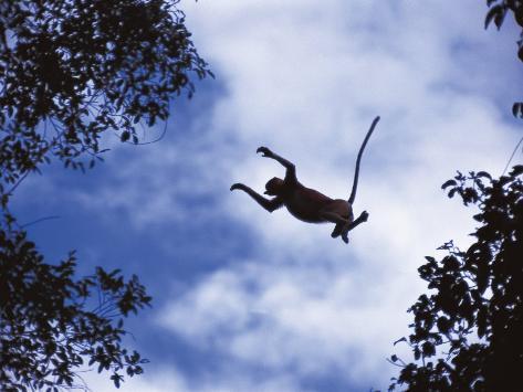 Proboscis Monkey Leaping from Tree, Borneo, Indonesia Photographic Print
