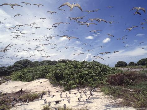 Tern Colony on Tubbataha Reef Philippines Photographic Print