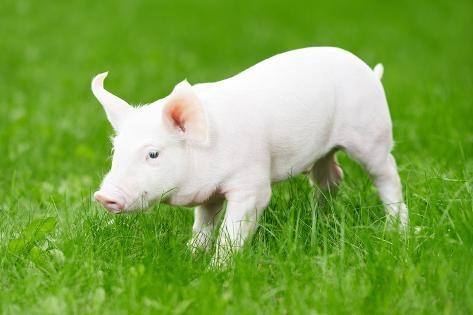 One Young Piglet on Green Grass at Pig Breeding Farm Photographic Print