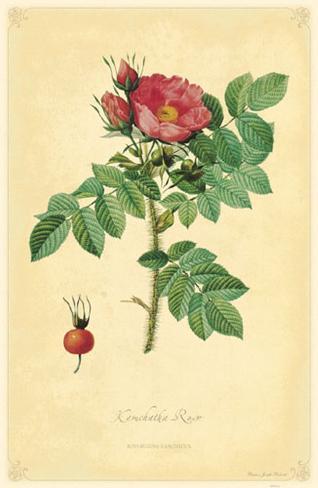 Kamchatka Rose Stampa master