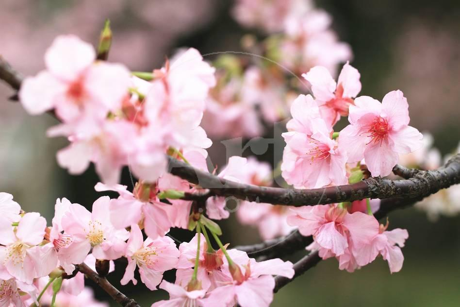 Japanese Flowering Cherry Blossoms Photographic Print By Kamill At