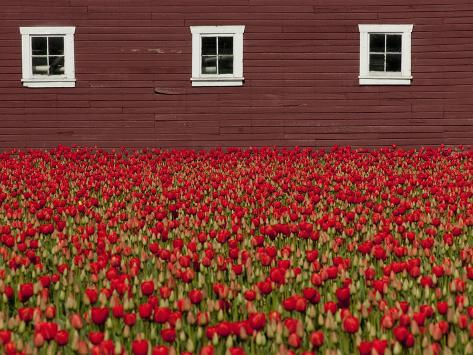 A Field of Red Tulips and a Barn in Spring Photographic Print