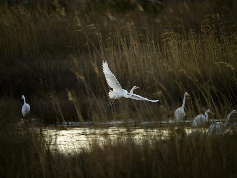 Egrets Along Water's Edge Photographic Print