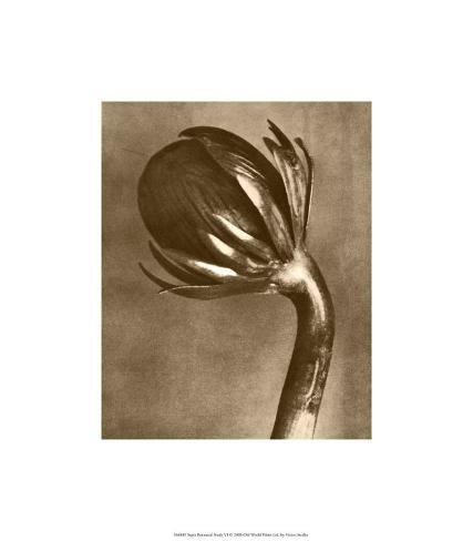 Sepia Botany Study VI Premium Giclee Print