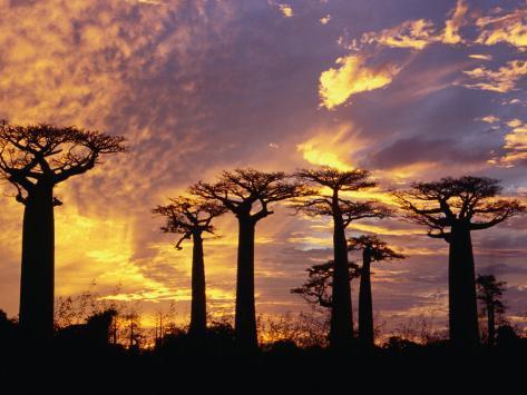 Giant Baobabs (Adansonia Grandidieri), Toliara, Madagascar Photographic Print