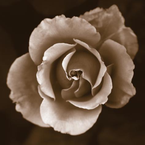 Rose - Duotone Photo