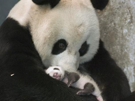 Giant Panda (Ailuropoda Melanoleuca) Mother and Her Cub, Wolong Nature Reserve, China Photographic Print