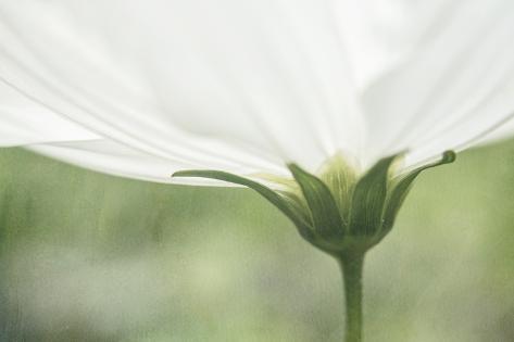 White cosmos flower close up photographic print by kathleen clemons white cosmos flower close up mightylinksfo