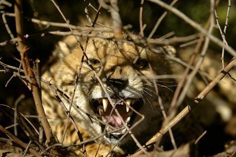 A Cheetah Baring its Teeth, South Africa Photographic Print