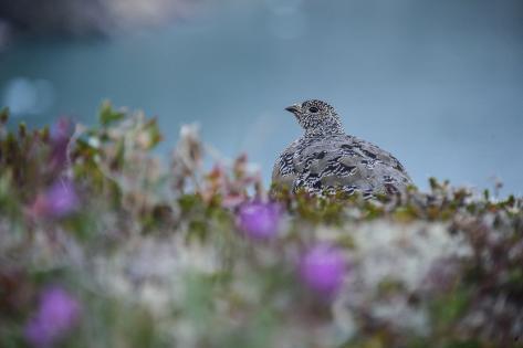 A Ptarmigan, Lagopus Species, in Summer Plumage, Among Wildflowers Photographic Print