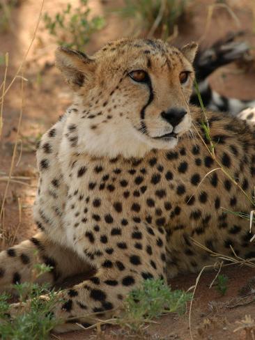 Cheetah, Nambia Africa Photographic Print