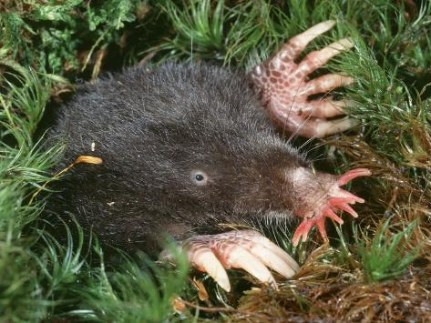 Star-Nosed Mole (Condylura Cristata) Emerging from Tunnel Photographic Print