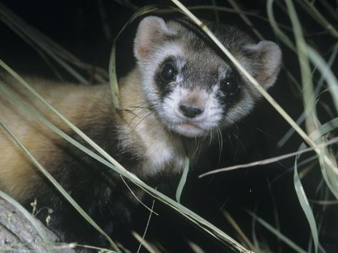 Black-Footed Ferret (Mustela Nigripes), a Highly Endangered Species of North American Mammal Photographic Print
