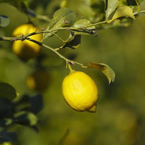 Lemons on Lemon Tree Valokuvavedos