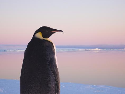 Emperor Penguin on Pack Ice Photographic Print