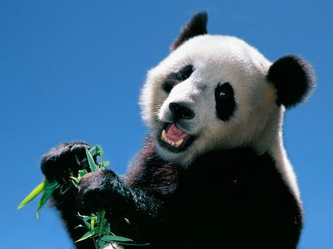 Panda Eating Bamboo, Wolong, Sichuan, China Photographic Print