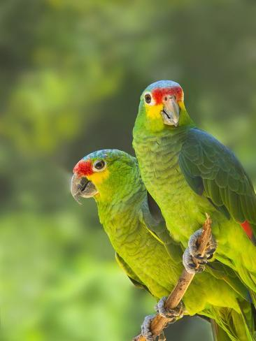 Red-lored parrots in Honduras Photographic Print