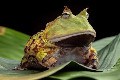 オールポスターズの kikkerdirk pacman frog or toad 写真プリント