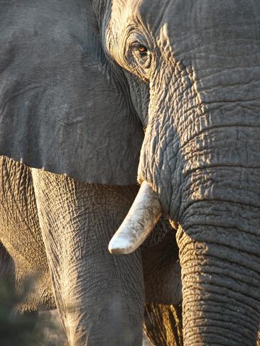Close Up of Partial Face, African Elephant (Loxodonta Africana), Etosha National Park, Namibia Photographic Print