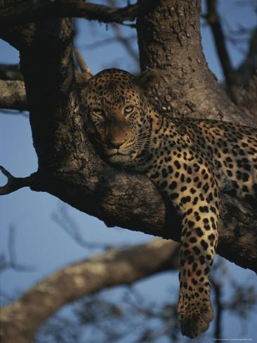 Leopard Rests in the Fork of a Tree Trunk Photographic Print