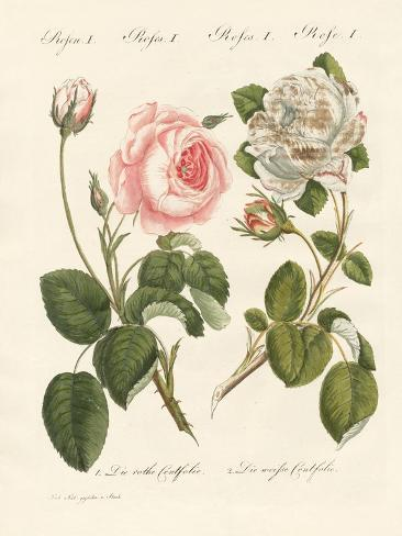 Kinds of Roses Stampa giclée