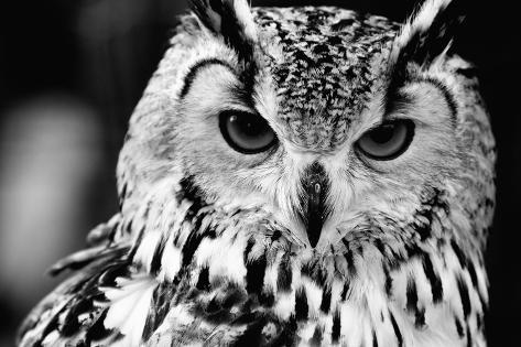 Close up Portrait of Eurasian Eagle-Owl Photographic Print
