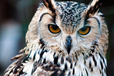 Owl close up Portrait Photographic Print
