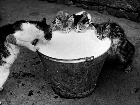 Kittens Slurping from a Pail of Milk Photographic Print