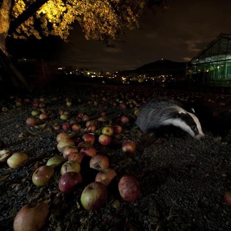 badger meles meles under a garden apple tree at night freiburg im breisgau germany november. Black Bedroom Furniture Sets. Home Design Ideas
