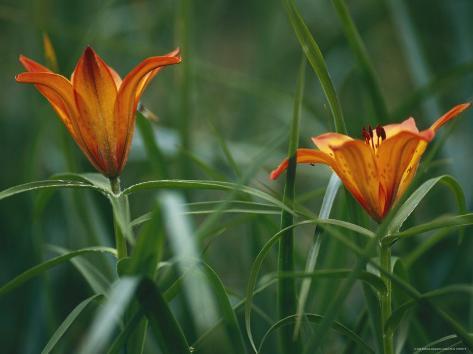 Kamchatka Lilies in Bloom Valokuvavedos