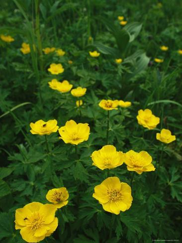 Yellow wildflowers blooming in lush green foliage photographic print yellow wildflowers blooming in lush green foliage mightylinksfo