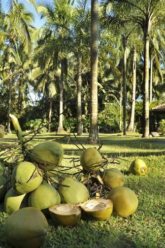 Kookospähkinät Valokuvavedos