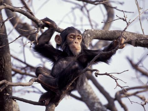 Young Male Chimpanzee, Gombe National Park, Tanzania Photographic Print