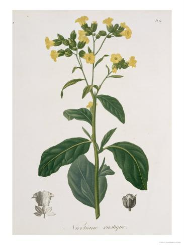 Nicotiana from Phytographie Medicale by Joseph Roques Stampa giclée