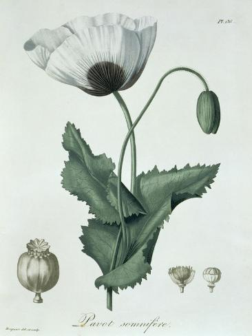 Papaver Somniferum from Phytographie Medicale by Joseph Roques Stampa giclée