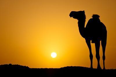 Sun Going Down in a Hot Desert: Silhouette of a Wild Camel ...