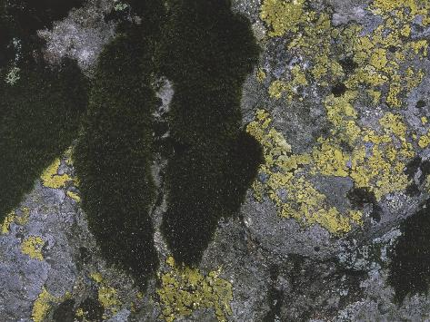 Close-Up of Map Lichen and Moss Stretched Canvas Print