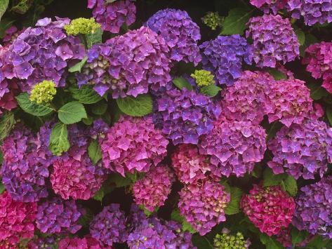 Lacecap Hydrangea Blossoms at Lakemount Garden Stretched Canvas Print
