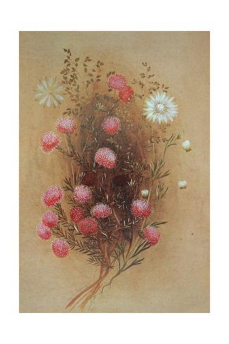 Melaleuca or Flannelflower, 19th Century Stretched Canvas Print
